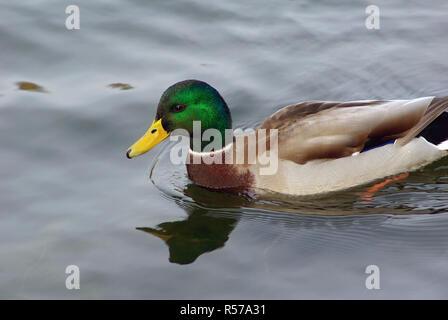 Drake mallard swimming - Stock Photo
