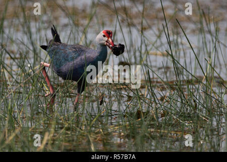 Purple moorhen wades through shallows with snail - Stock Photo