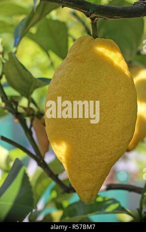 four seasons lemon citrus limon at the shrub - Stock Photo