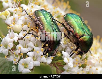 two pollen-eating rose beetles cetonia aurata - Stock Photo