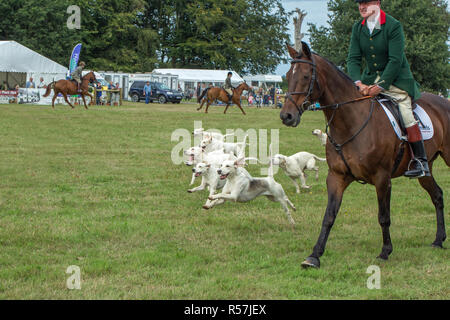 Stepping out. Demonstration and display of North Norfolk Harriers. Hound pack released in Main Ring, Aylsham Show, Blickling, North Norfolk. The UK. - Stock Photo