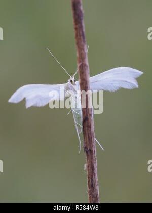 sloe many-plumed moth - Stock Photo