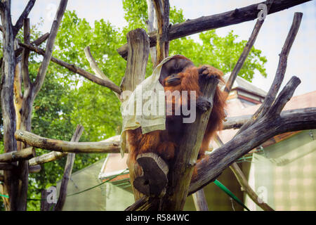 Orangutan sitting on a tree in the zoo and covered with a white blanket - Stock Photo