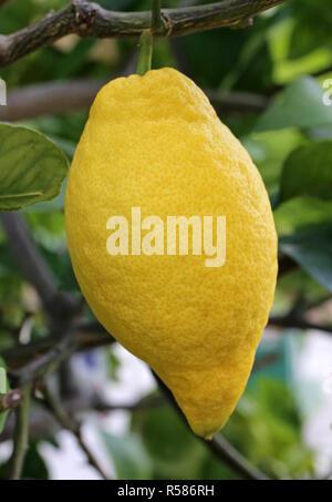 four seasons lemon citrus limon at the lemon shrub - Stock Photo