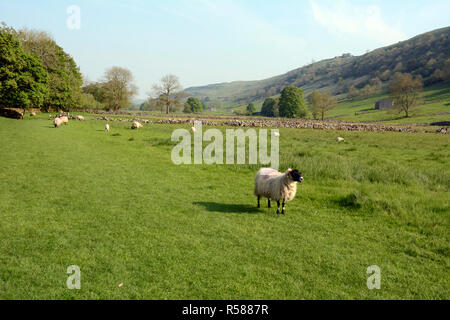 Sheep grazing in a meadow along the Dales Way hiking trail in the Wharfe River Valley, near Starbotton, Yorkshire, Northern England, Great Britain. - Stock Photo