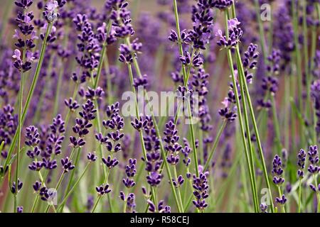 lavender flowers in closeup - Stock Photo