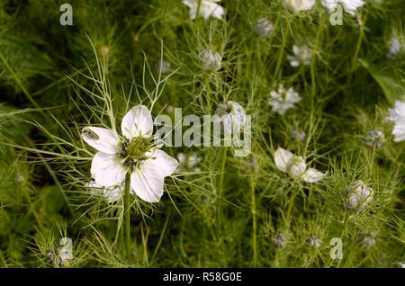 Female thick-legged flower beetle on nigella flower - Stock Photo