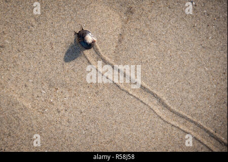 Sea snail slowly crawls across wet sand on the beach, leaving a trail behind it - Stock Photo