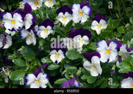 Sydney Australia, garden border of dark purple and white pansy plants - Stock Photo