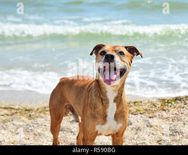Redhead American pit bull terrier - Stock Photo