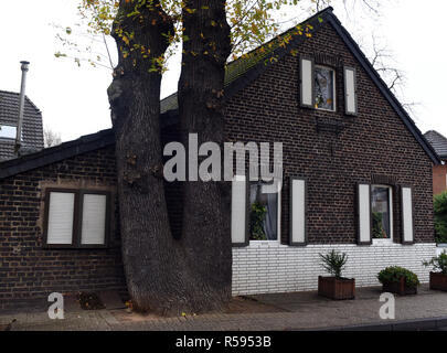 29 November 2018, North Rhine-Westphalia, Düsseldorf: A double-trunk oak stands very close to the gable wall of a small brick house. Photo: Horst Ossinger/dpa Stock Photo