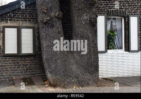 29 November 2018, North Rhine-Westphalia, Düsseldorf: A double-trunk oak stands very close to the gable wall of a small brick house. Photo: Horst Ossinger//dpa Stock Photo
