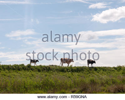 three cows in the distance walking along a path through the countryside grasslad with the sky in the background stunning and peaceful - Stock Photo
