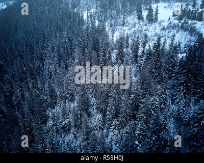 Aerial view from above of winter forest covered in snow. Pine tree and spruce forest top view. Cold snowy wilderness drone landscape photo. Moody blue color and tone. Quadcopter flies above woods - Stock Photo