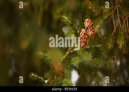 Fir tree cones on a branch. Evergreen spruce during winter snowfall. Beautiful christmas post card with nice bokeh for copyspace and design. Snowy day. - Stock Photo