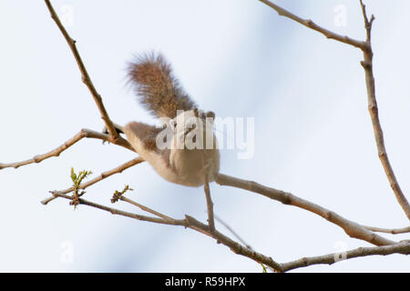 Squirrel were hung on the branches - Stock Photo