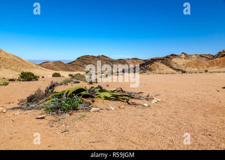 Desolation with only a few hardy plants in the arid Namib desert on the Skeleton coast of Namibia. - Stock Photo