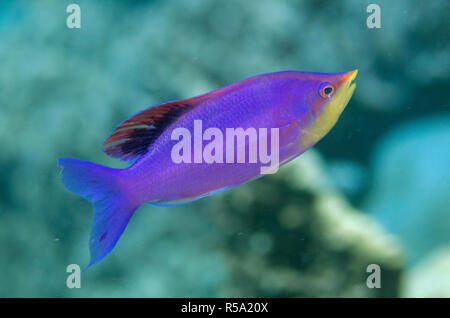 Nuptial male Purple Anthias, Pseudanthias tuka, Muara Channel dive site, off Sermata Islands, near Alor, Indonesia, Indian Ocean - Stock Photo