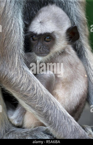 Tufted Grey Langur (Semnopithecus priam priam) - Stock Photo
