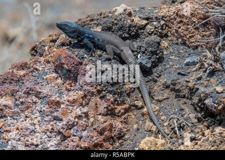 Southern Canary Lizard (Gallotia galloti) on rocks, endemic, male, Tenerife, Canary Islands, Spain - Stock Photo