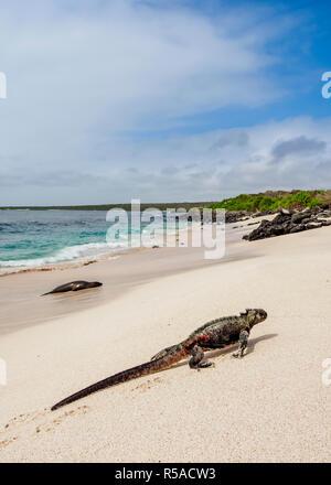 Marine iguana (Amblyrhynchus cristatus) coming out of water oa a beach at Punta Suarez, Espanola or Hood Island, Galapagos - Stock Photo