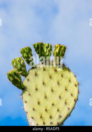 Giant Prickly Pear Cactuses (Opuntia robusta), leave, detailed view, Cerro Tijeretas, San Cristobal or Chatham Island, Galapagos - Stock Photo