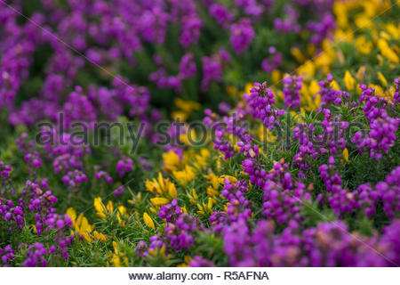 Heathland; with Bell Heather; Erica cinerea; and Western Gorse; Ulex gallii; in Flower; Cornwall; UK - Stock Photo
