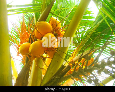 King coconut bunches growing on the palm. - Stock Photo