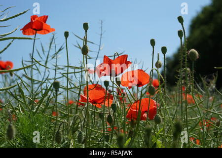 poppy seeds with capsules and flowers - Stock Photo