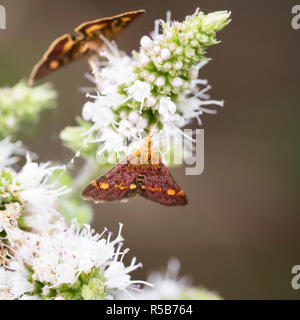 The tiny daytime  Mint Moth (Pyrausta aurata) on the flower of the culinary Sandringham Mint plant. - Stock Photo