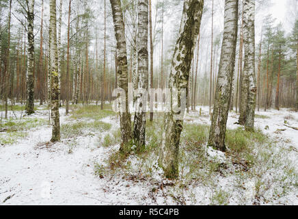 Birch grove in winter.The bark of the trees has a black and white color. - Stock Photo