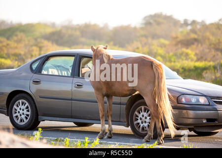 A wild pony (Equus caballus) begging for food from a tourist's car at Assateague Island National Seashore, Maryland. Feeding the ponies is prohibited. - Stock Photo