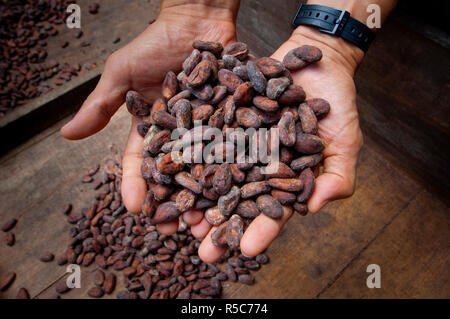 Costa Rica, La Virgen de Sarapiqui, Handful Of Drying Cocoa Beans, Tirimbina Biological Reserve - Stock Photo