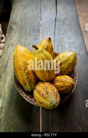 Costa Rica, La Virgen de Sarapiqui, Picked Cocoa Pods Used For Demonstration On How To Make Chocolate, Tirimbina Biological Reserve - Stock Photo