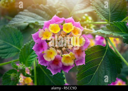 Summer flowers series, beautiful Lantana camara - Stock Photo