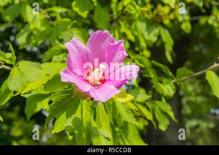 Malva sylvestris (common mallow, cheeses, high mallow, tall mallow) flower - Stock Photo
