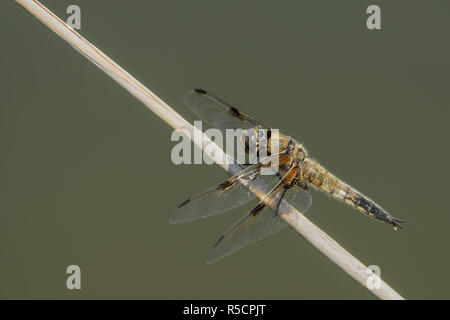 Large dragonfly on a small branch - Stock Photo