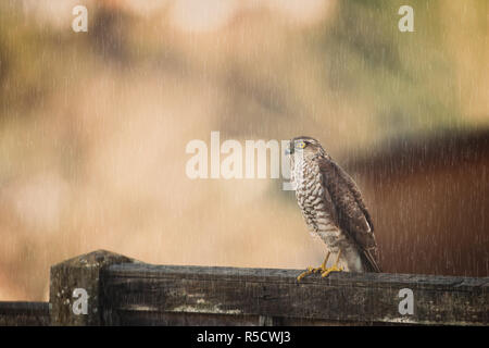 Detailed, front view close up of wild UK female sparrowhawk bird of prey (Accipter nisus) perched on a garden fence in the rain, bright yellow eye. - Stock Photo