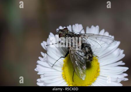 Tachinid Fly, Tribe Dexiini, on Trailing Fleabane, Erigeron flagellaris - Stock Photo