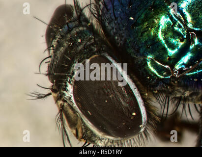 gold fly compound eyes and mouth tools greatly enlarged - Stock Photo