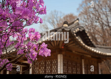 Korea, Seoul, Changdeokgung Palace, Cherry blossom at Changgyeongggung Palace - Stock Photo