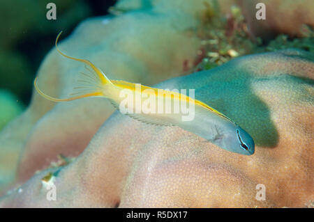 Yellowtail Fangblenny, Meiacanthus atrodorsalis, aka Forktail Blenny, Pyramids dive site, Amed, east Bali, Indonesia, Indian Ocean - Stock Photo