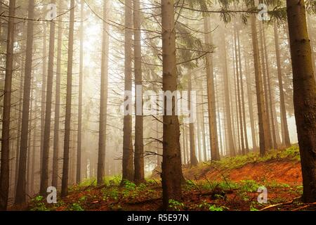 Spruce Forest In The Mountains With Illuminated Mist - Stock Photo