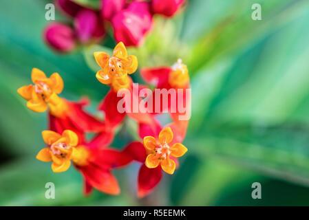 Asclepias Curassavica flower - Stock Photo