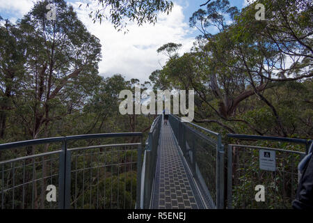Enjoying the impressive metal walkway through the tingle trees at Valley of the Giants Tree Top Walk in Tingdale, Western Australia. - Stock Photo