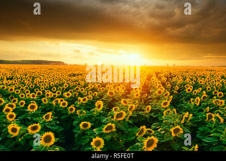 Sunflower fields during sunset - Stock Photo