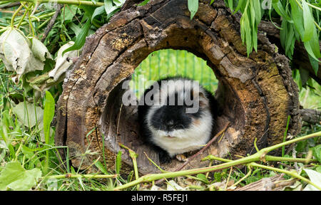 A Curious, Cute, black and white guinea pig sits in hiding - Stock Photo
