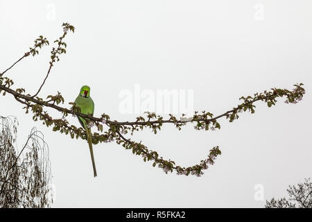 Wild Parakeet perched in a tree gathering blossom in Hyde Park, London - Stock Photo