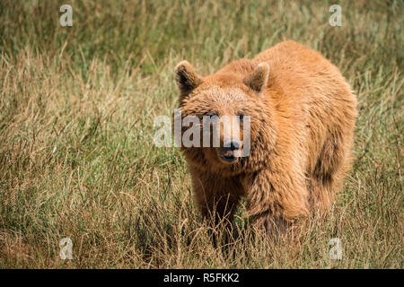 Brown bear standing in meadow in sunshine - Stock Photo