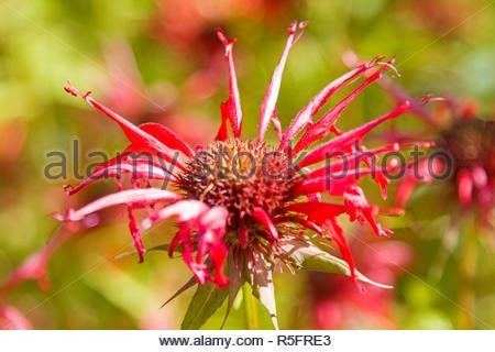 indian armchair - popular medicinal plant - Stock Photo